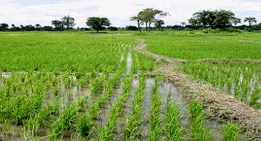 Nigeria to be rice-sufficient in 18 months