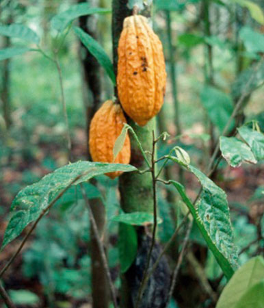 FG to increase cocoa production to 500mt by 2015