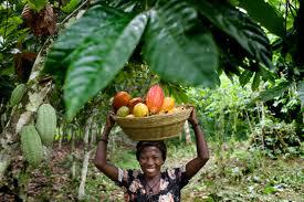 FG To Create Cocoa Corporation of Nigeria
