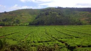 Rwanda-farms