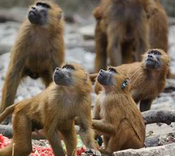 Vaccine Gives Monkeys Ebola Immunity