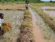 Rice Anchor Borrowers' Programme, CBN, Imo
