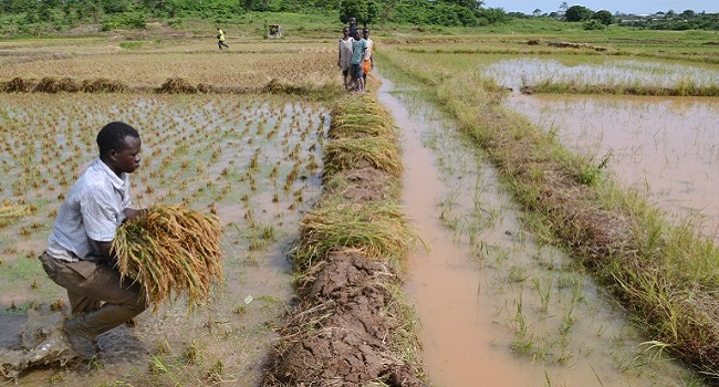 FG Launches CBN Rice Anchor Borrowers' Programme In Imo