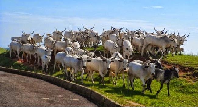 Security Operatives Recover 2,000 Cows, Kill Three Rustlers In Kaduna