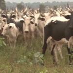 Cattle-Rustling-KAno