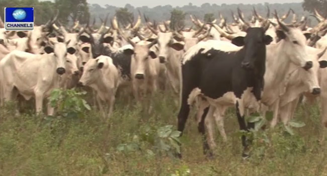 Kano Govt. Sets Up Amnesty Committee To Curb Cattle Rustling