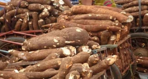 Ogun government on mechanised cassava production