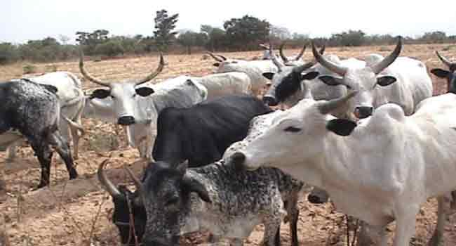 Over 19,000 Cows Recovered From Rustlers In Kaduna