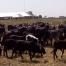 Cattle-Rustling