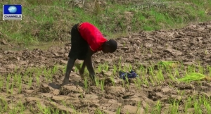 CBN, anchor borrowers' programme, rice sufficiency