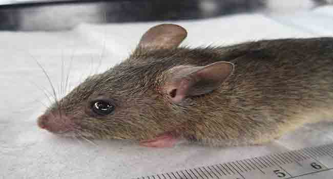 Lassa Fever Kills Three In Bauchi State