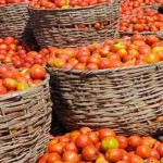 Tomato disease, Kaduna, tomato blight, tomato farms