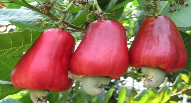 FG Flags Off 2016 Cashew Expansion Programme