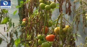 Agriculture-tomato-farming
