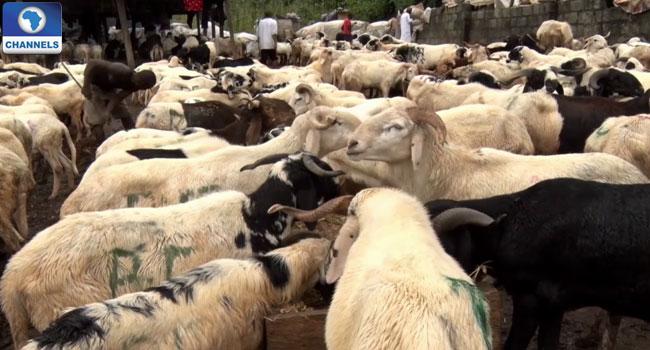 Rams-for-Eid-El-kabir