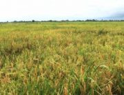 Obiano Commissions Josan Rice Farm And Mills In Anambra State