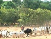 Kwara Govt Bans Night Cattle Grazing