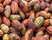 Cocoa Farmers Decry Alleged Supply Of Farm Inputs