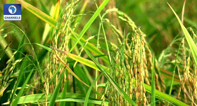 Global Warming May Have 'Devastating' Effects On Rice – Study