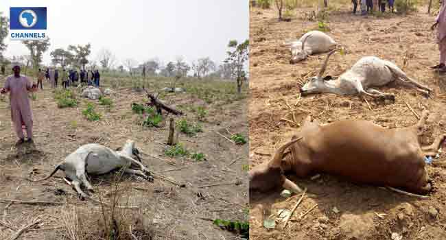 Suspected Cattle Rustlers Kill 73 Cows In Nasarawa
