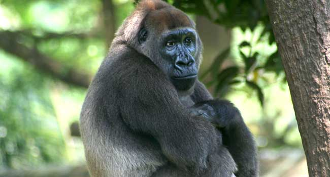 'West Africa Gorillas Still Endangered And In Dire Need Of Protection'