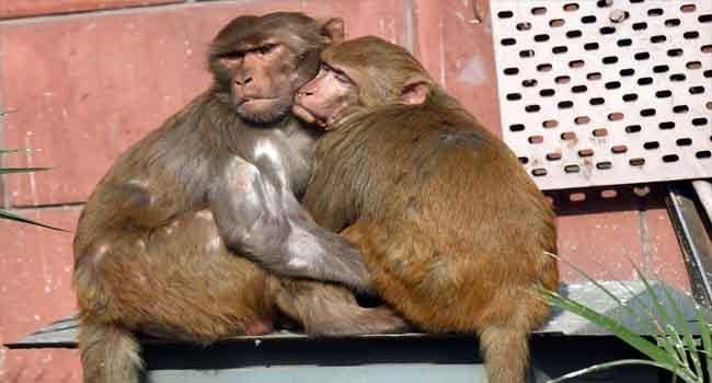 Six Arrested For Killing, Eating Endangered Monkey