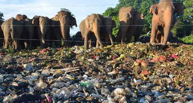 Elephants Scavenge For Food In Dumps, Face Danger Of Plastics