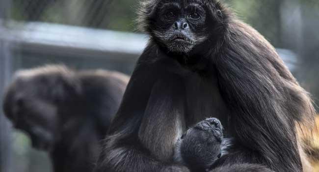 Zoo Celebrates Birth Of Endangered Spider Monkey