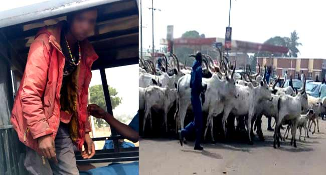 Herder Arrested, 105 Cows Seized Over 'Illegal Grazing' In Benue