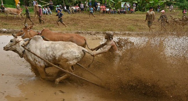 Wet-And-Wild Ride: Indonesia Mud Bull Races Not For Faint Hearts