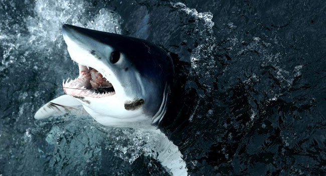 Many Sharks Closer To Extinction Than Feared – Red List