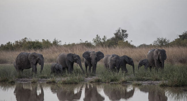 EU Under Pressure To Protect African Elephants, End Ivory Trade