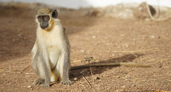 Police Probe Baby's Death In Alleged Monkey Attack
