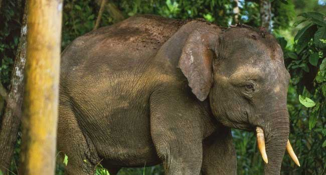 Four Arrested For Killing Elephant In Malaysia