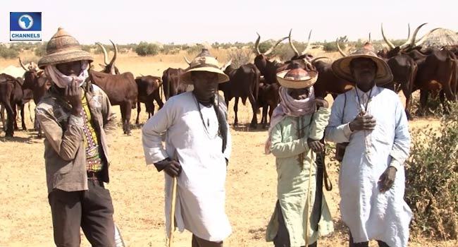 The Miyetti Allah Cattle Breeders Association, MACBAN – Herdsmen, farmers in Benue, Nasarawa will soon reconcile