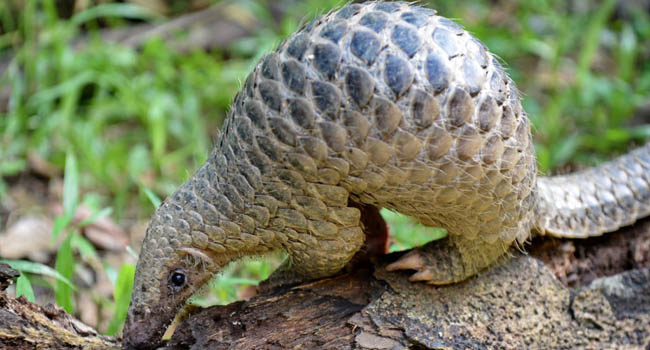 China Removes Pangolin, World's Most Trafficked Animal, From Traditional Medicine List