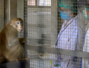 This picture taken on May 23, 2020 shows a laboratory monkey interacting with employees in the breeding centre for cynomolgus macaques (longtail macaques) at the National Primate Research Center of Thailand at Chulalongkorn University in Saraburi. Mladen ANTONOV / AFP