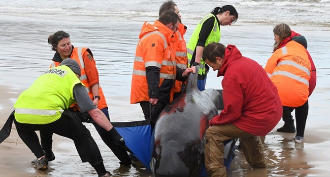 Almost  400 Whales are Dead in One of World's Worst Beaching Tragedies