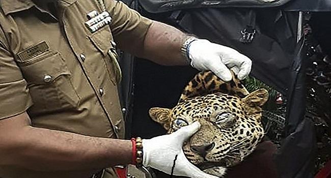 Sri Lanka Arrests Three Accused Of Killing Leopard For Asthma Cure