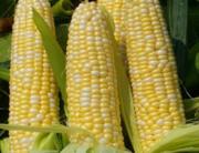 A file photo of a maize crop.