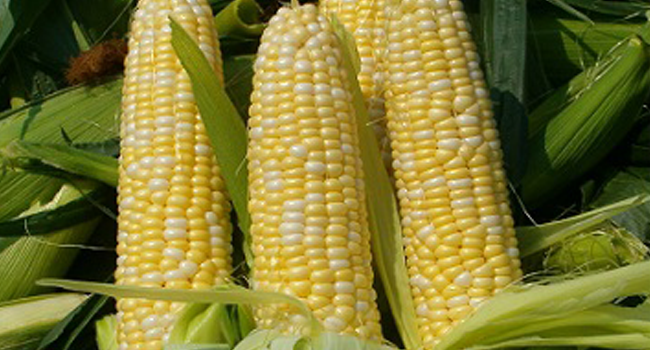 A file photo of a maize crop.