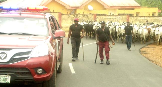 Amotekun Arrest Over 250 Cows For Destroying Farmlands, Crops In Ondo Communities