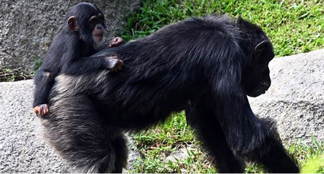 How Chimps Learn 'Handshakes'