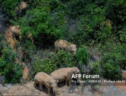 UNMING, June 1, 2021 (Xinhua) -- Aerial photo taken on May 28, 2021 shows the herd of wandering wild Asian elephants in Eshan County, Yuxi City, southwest China's Yunnan Province. (Xinhua/Hu Chao) Hu Chao / XINHUA / Xinhua via AFP