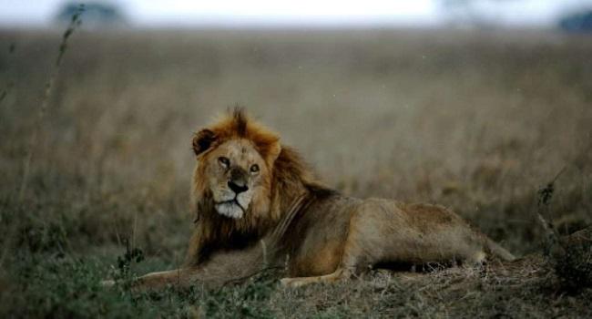 Lions Kill Three Children Near Wildlife Reserve