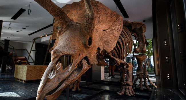 'Big John', Largest-Ever Triceratops, Up For Auction